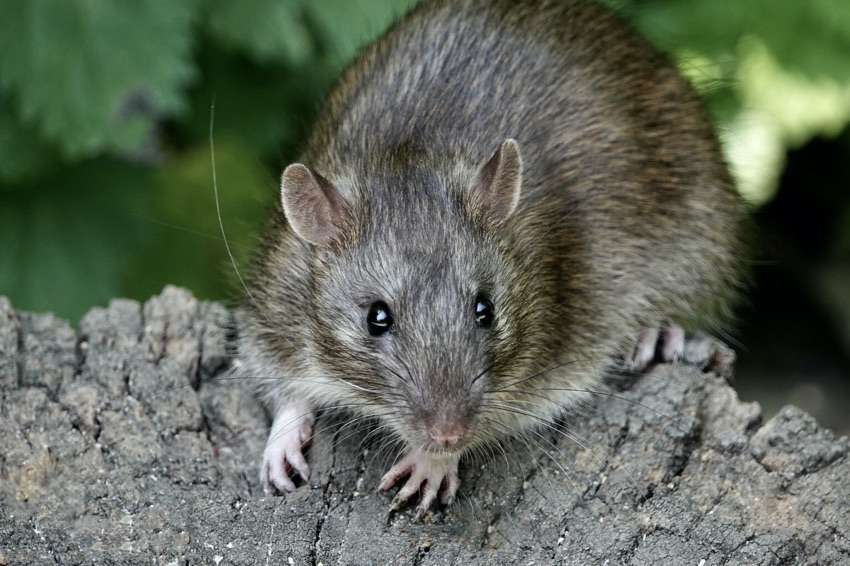 British Beastie of the Month: The Brilliant Brown Rat