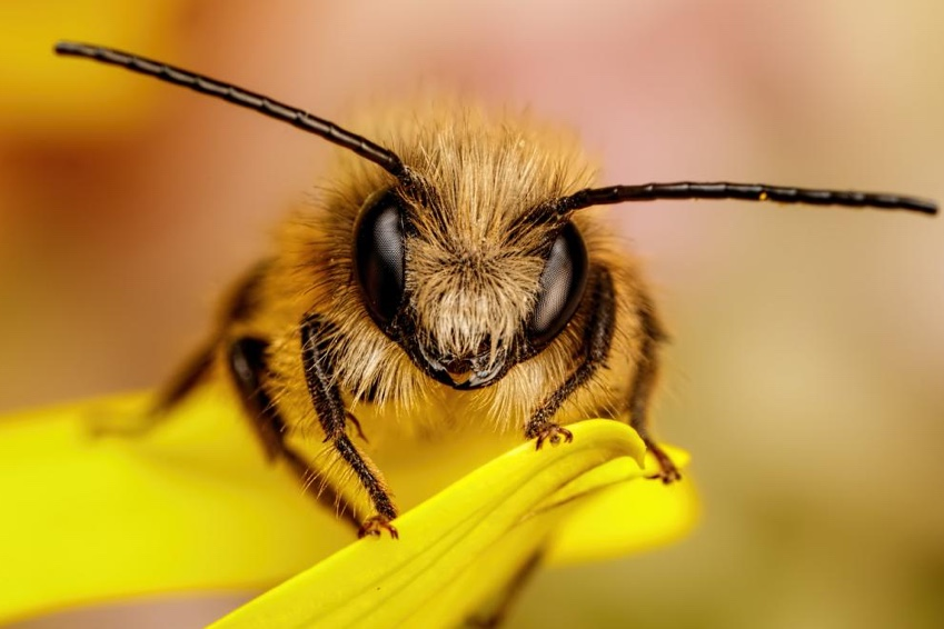 British Beastie of the Month: The Industrious Bee