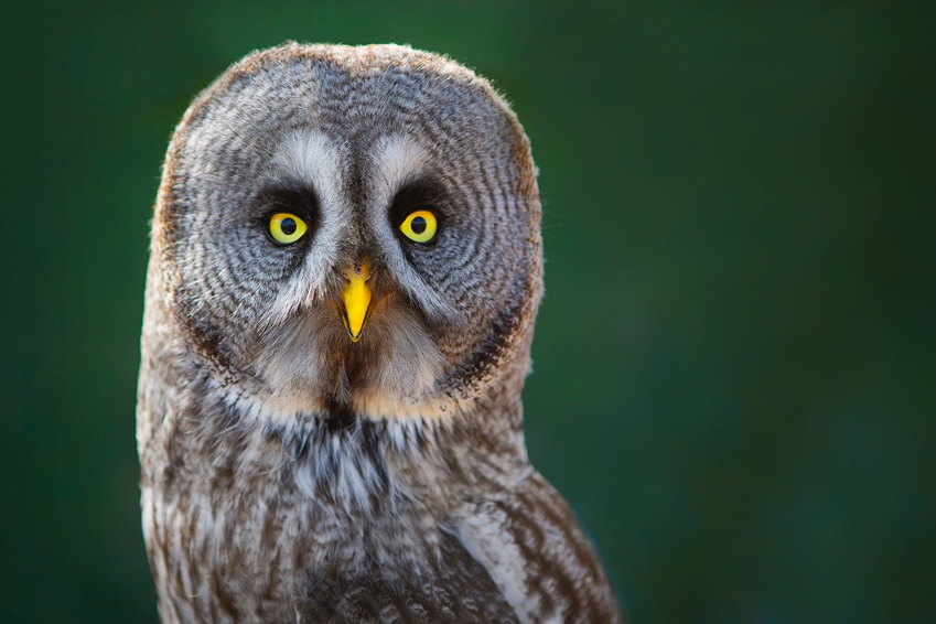 British Beastie of the Month: The Omniscient Owl