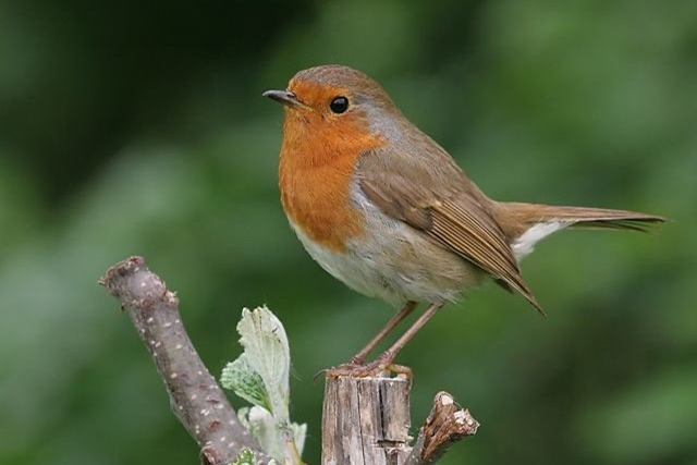 British Beastie of the Month: The Regal European Robin