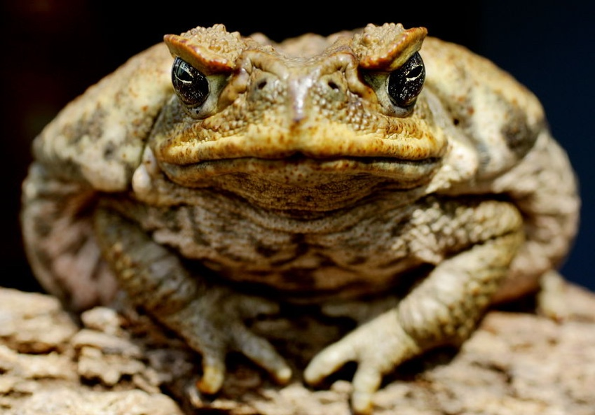 British Beastie of the Month: The Slimy Toad
