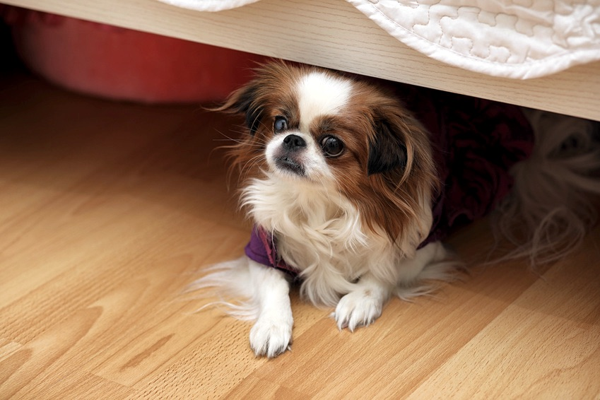 How Can I Help My Dog Cope With Fireworks Anxiety?